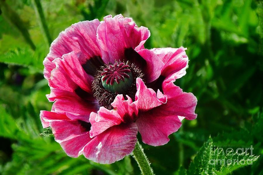 Poppy Photograph - Pink Poppy by Susie Peek