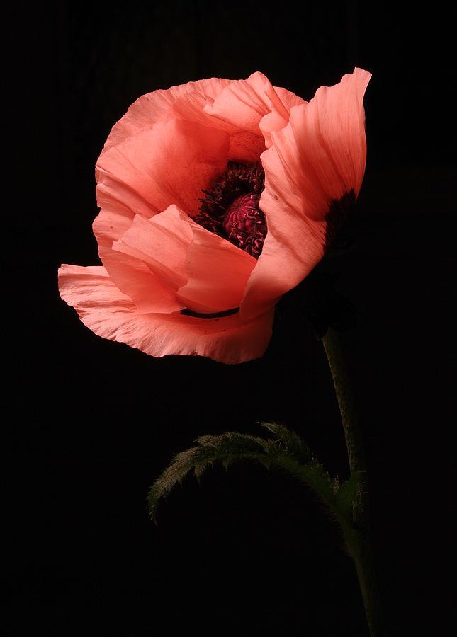 Poppy Photograph - Pink Poppy by Vince  Risner