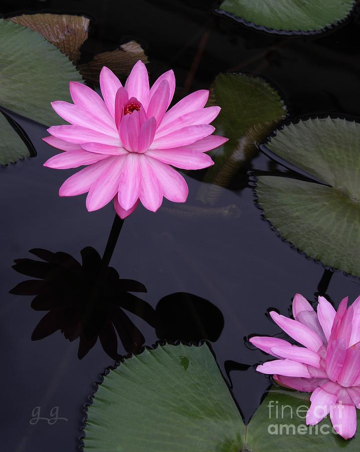 Water Lilies Photograph - Pink Pose by Geri Glavis