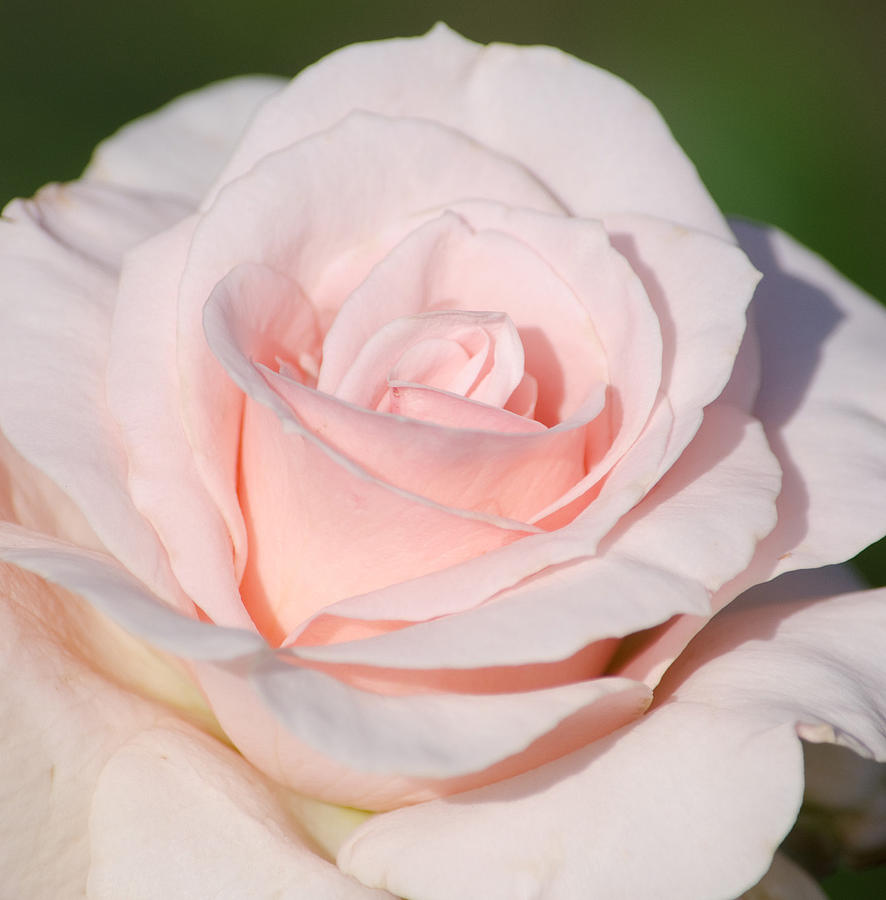 Rose Photograph - Pink Promise by Nancy Edwards