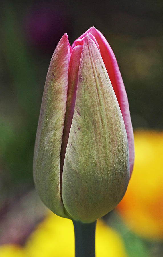 Pink Photograph - Pink Promise by Rona Black