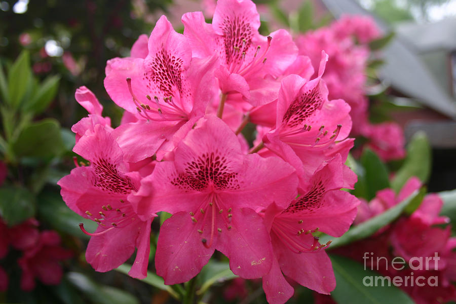 Pink Rhododendron Bloom by Rusty Green
