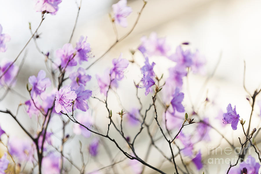 Flowers Photograph - Pink Rhododendron In Spring by Elena Elisseeva