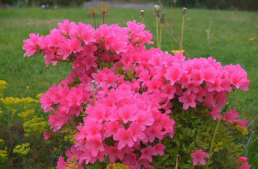 an analysis of roses rhododendron by alice adams An analysis of the analysis of alice walker question research papers 1 the body of written works of an analysis of roses rhododendron by alice adams.