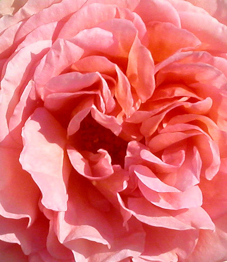 Rose Photograph - Pink Rose Closeup by Anne Cameron Cutri