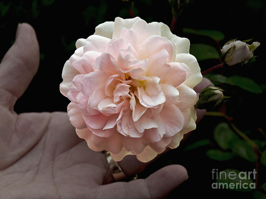 Bloom Photograph - Pink Rose  by Howard Stapleton