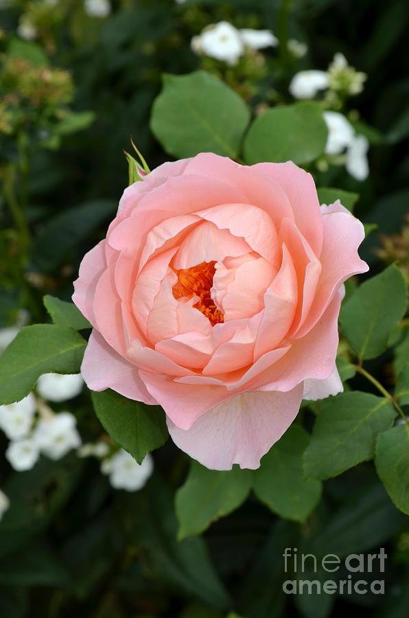 Hamburg - Germany Digital Art - Pink Rose In Hamburg Planten Und Blomen by Eva Kaufman