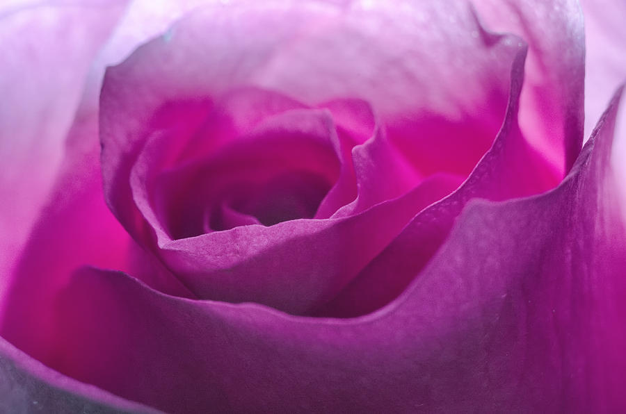 Pink Rose by Jim Shackett