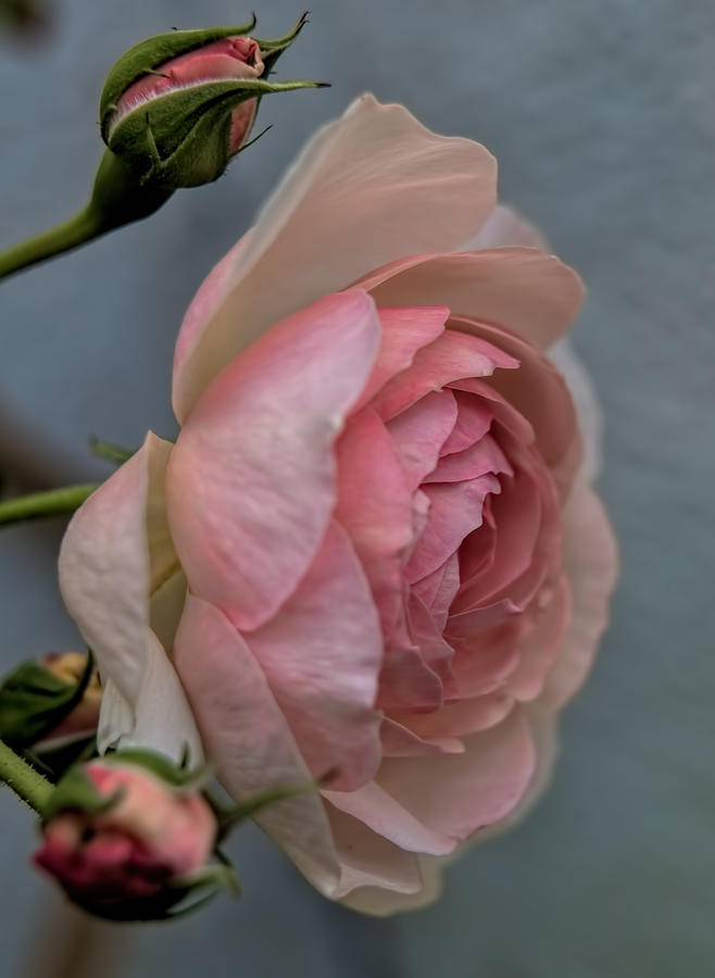 Rose Photograph - Pink Rose by Leif Sohlman