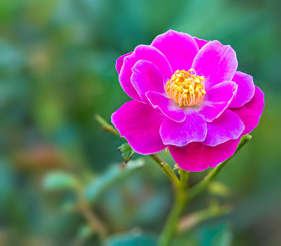 Flower Photograph - Pink Rose by Nina Lin