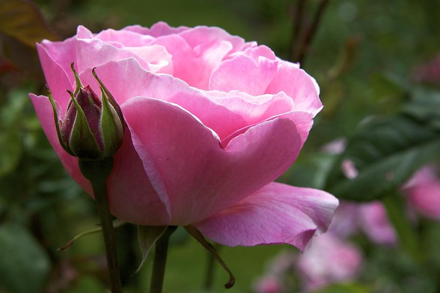Pink Rose Photograph - Pink Rose by Terry Horstman