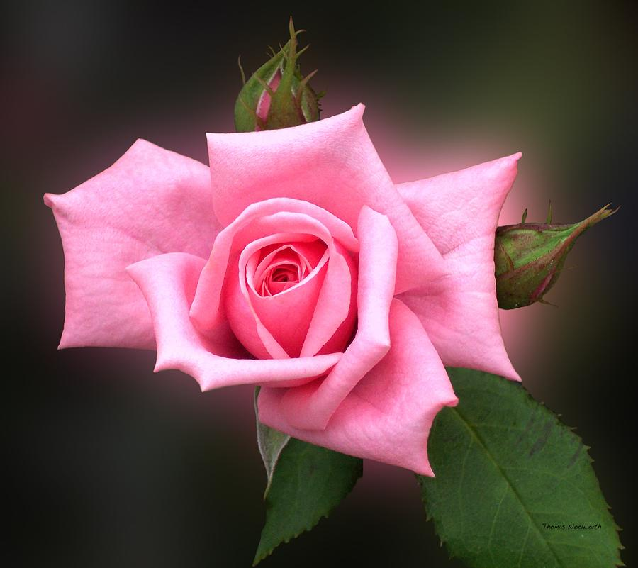 Pink Photograph - Pink Rose by Thomas Woolworth