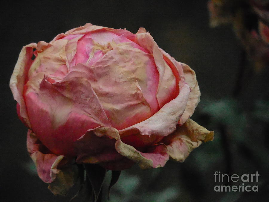 Floral Photograph - Pink Roses In The First Snow I I I by Rowena Throckmorton