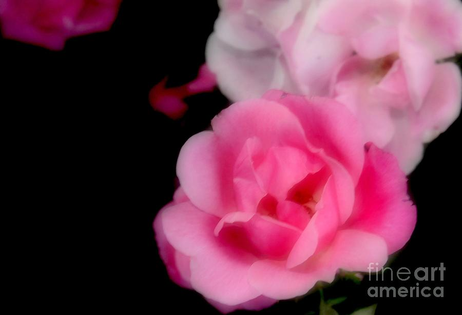Pink Photograph - Pink Roses by Kathleen Struckle