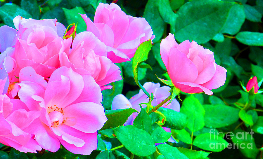 Rose Photograph - Pink Roses by Tina M Wenger
