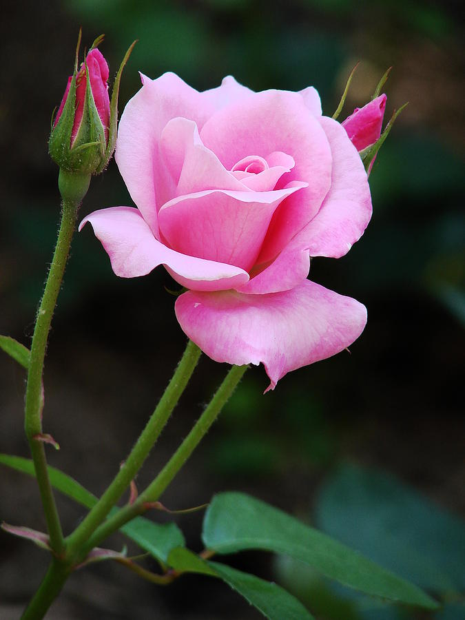 pink roses with buds photograph by stephen lilly