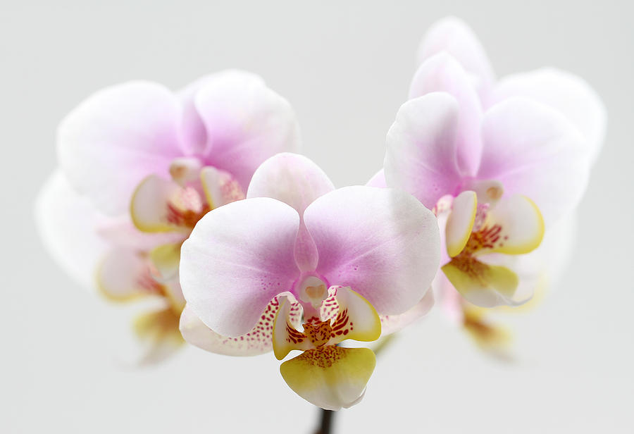 Orchid Photograph - Pink Sensation by Juergen Roth