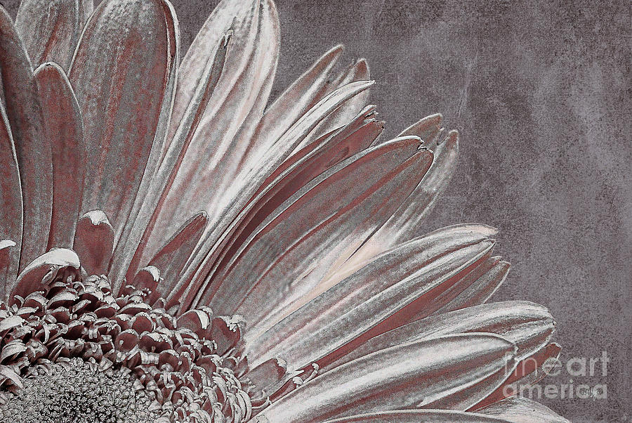 Flower Photograph - Pink Silver by Lois Bryan