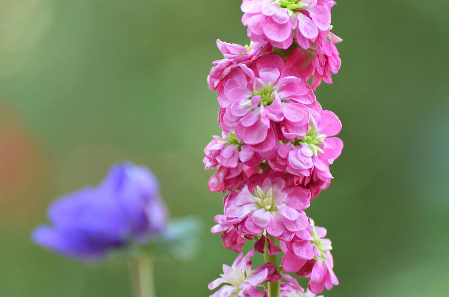 pink snap dragon flower photograph by michael moriarty