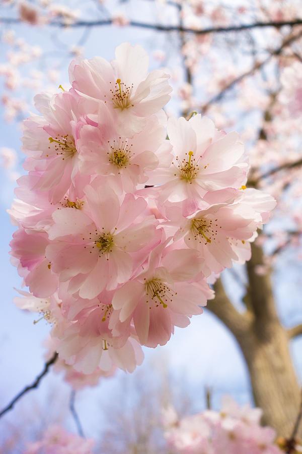Pink Spring Blossom Light Blue Sky Photograph