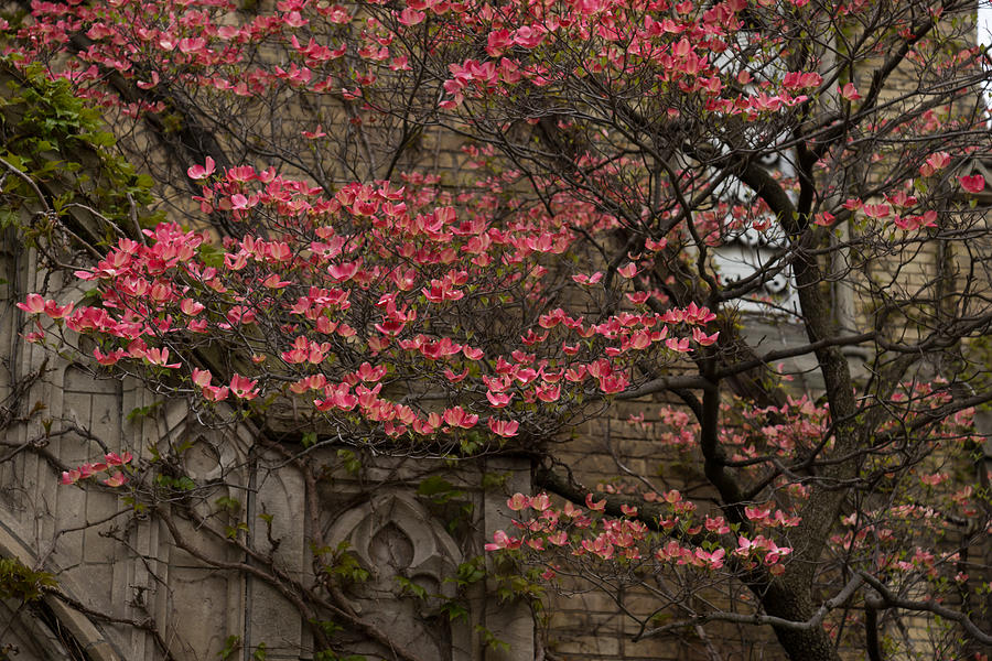 Dogwoods Photograph - Pink Spring - Dogwood Filigree And Lace by Georgia Mizuleva
