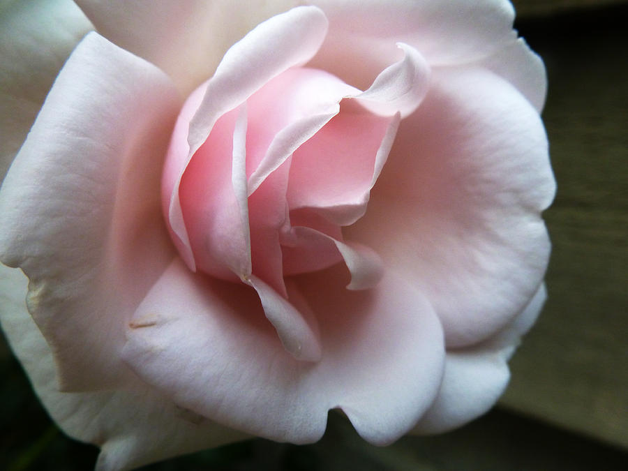 Rose Photograph - Pink by Tanya Jacobson-Smith