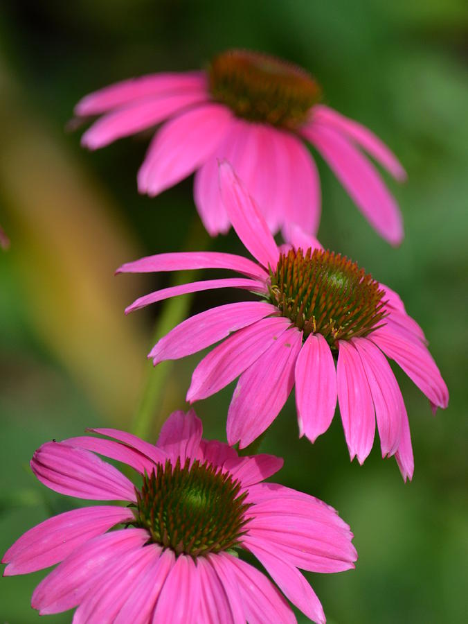 Pink Photograph - Pink Trifecta by Maria Urso