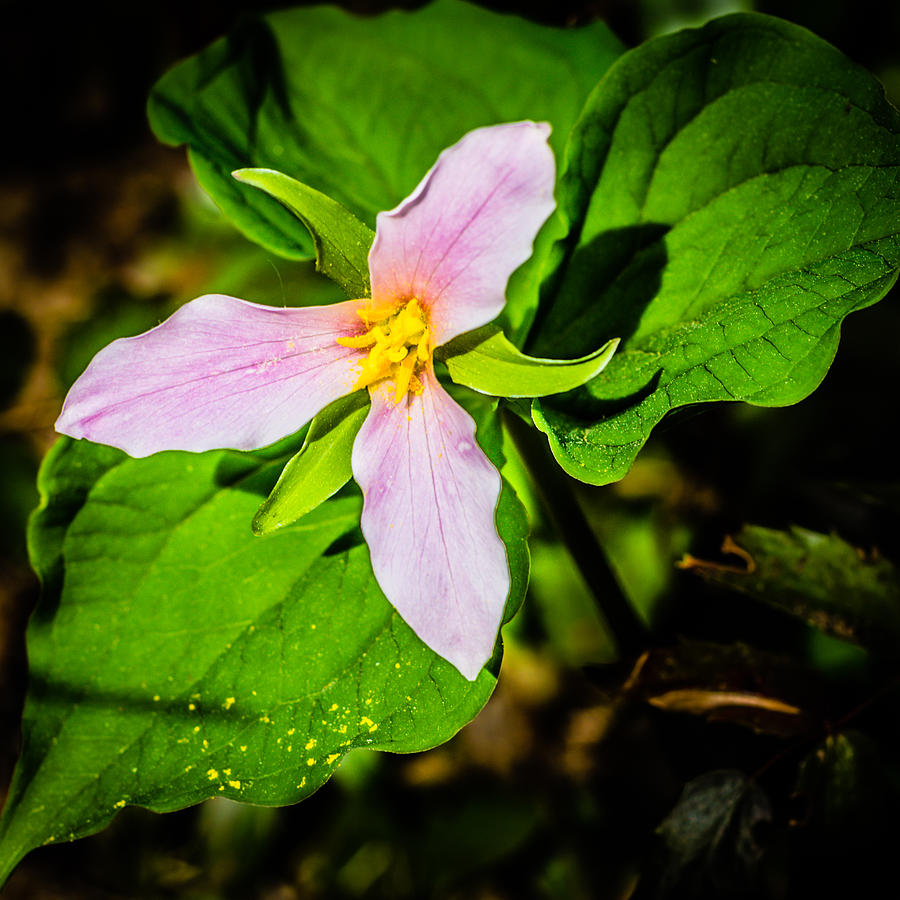 Copyrighted Photograph - Pink Trillium Ovatum by Brian Xavier