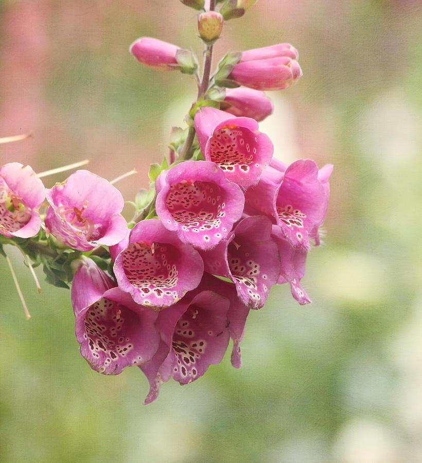 Flower Photograph - Pink Trumpet by Kim Hojnacki