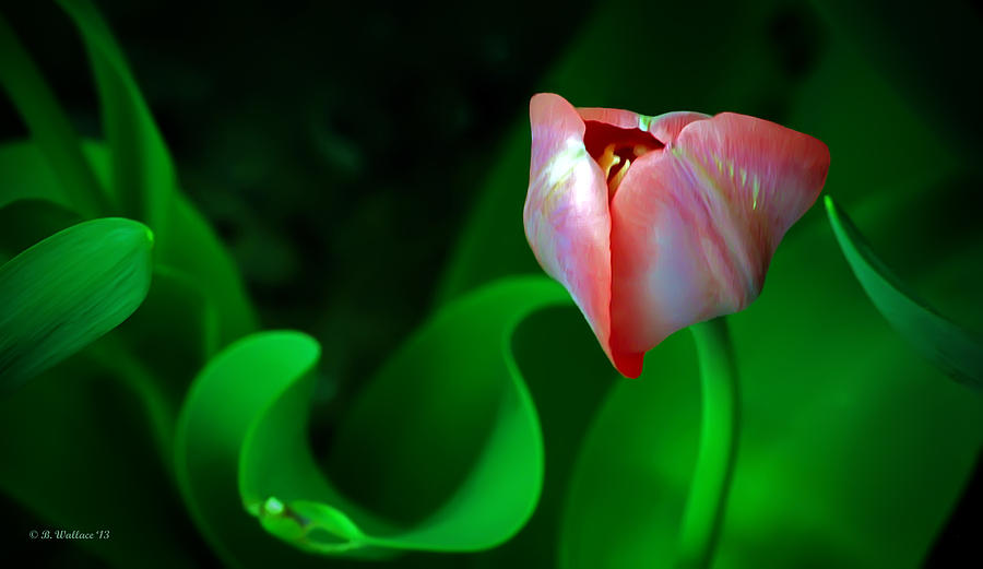 2d Photograph - Pink Tulip by Brian Wallace