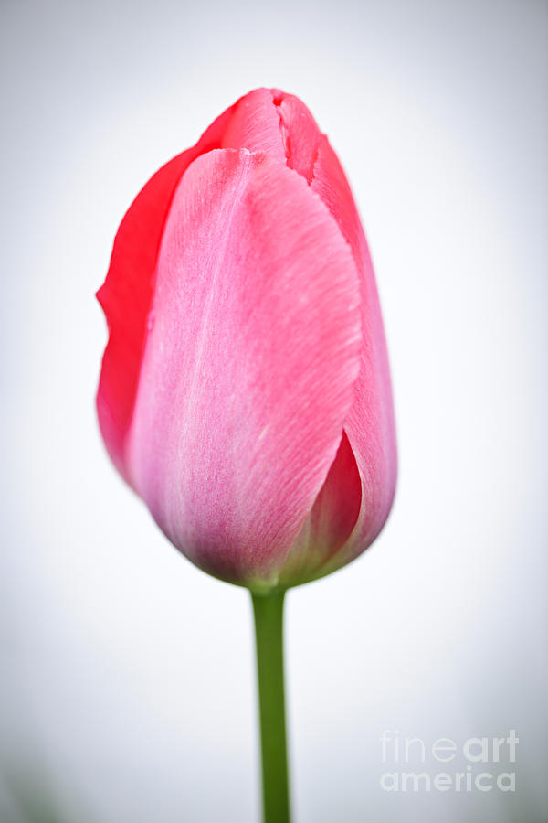 Tulip Photograph - Pink tulip by Elena Elisseeva