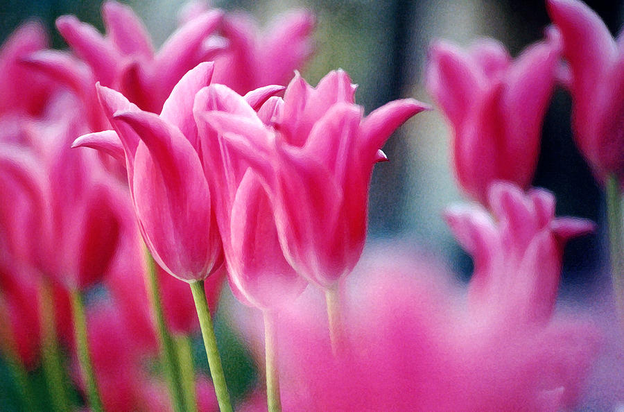 Susan Photograph - Pink Tulips by Susan Crossman Buscho