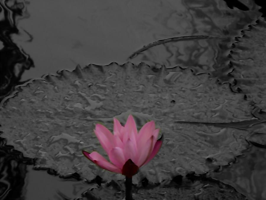 Pink Water Lilly Photograph