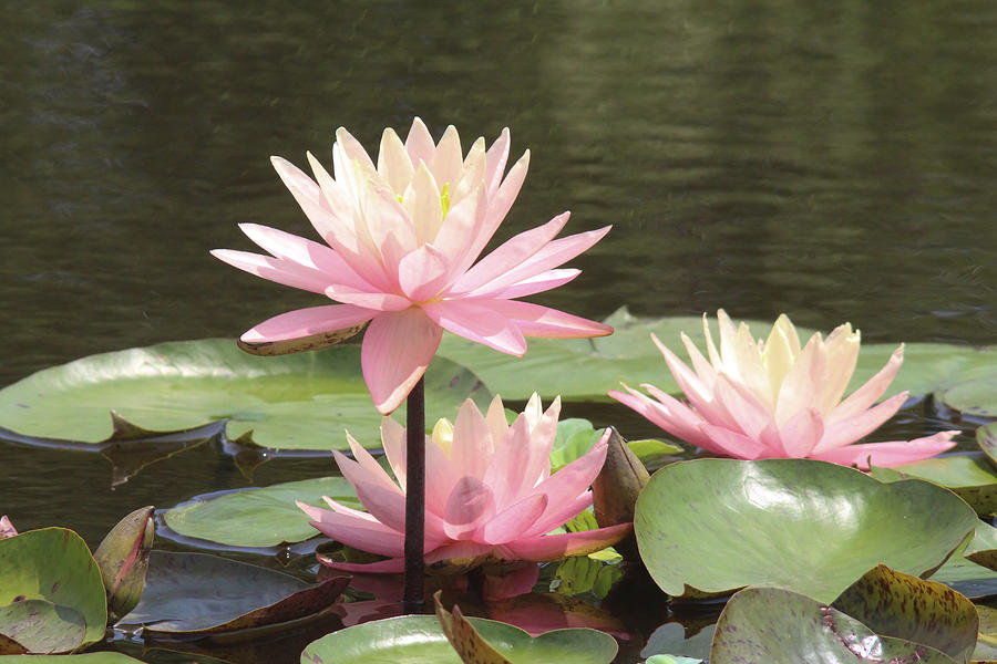 Flowers Photograph - Pink waterlilies by Jill Bell