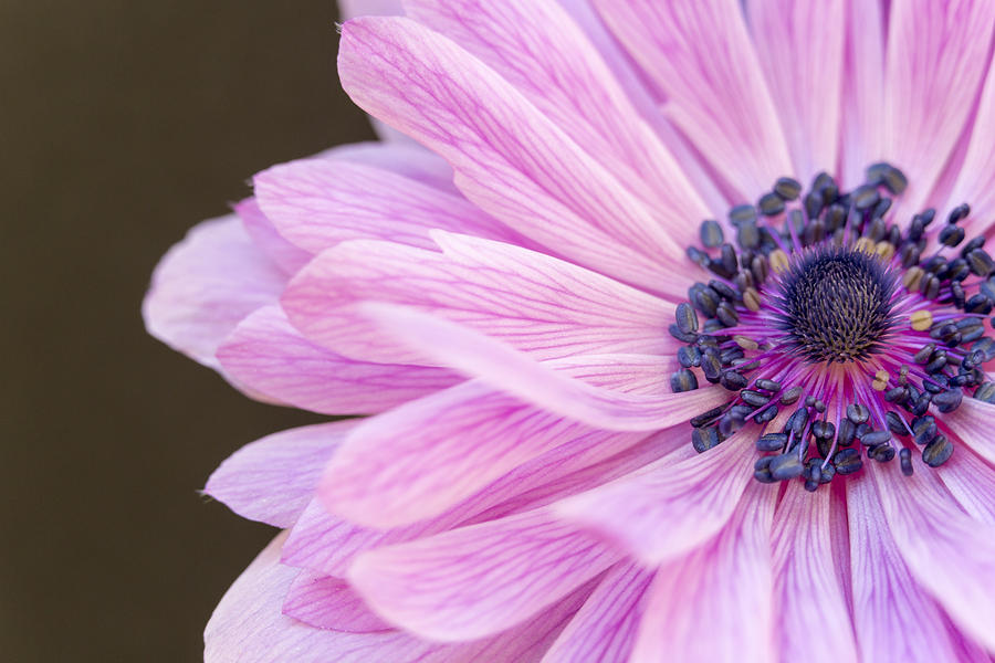 Anemone Photograph - Pink Waves by Caitlyn  Grasso