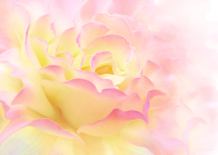 Pink Yellow Rose Flower Abstract Photograph By Jennie