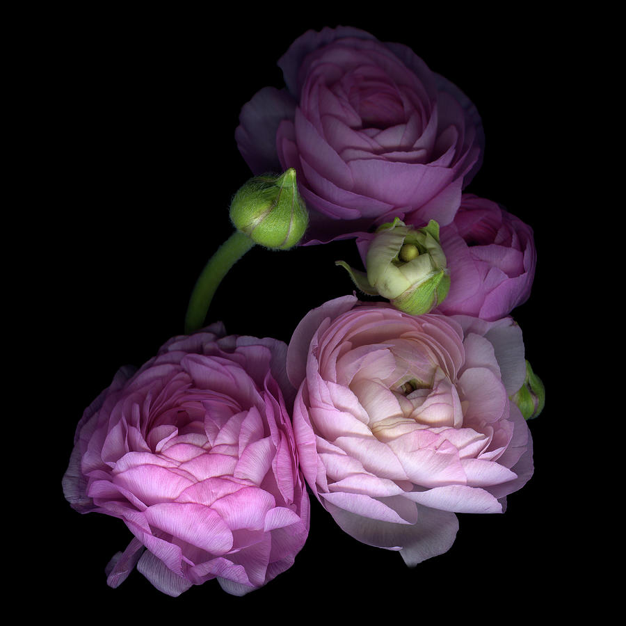 Pinkalicius Ranunculus... Pink For Photograph by Photograph By Magda Indigo