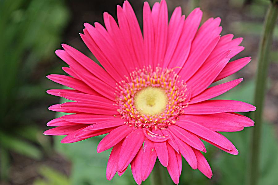 Pink Photograph - Pinks A Daisy by Sarah E Kohara