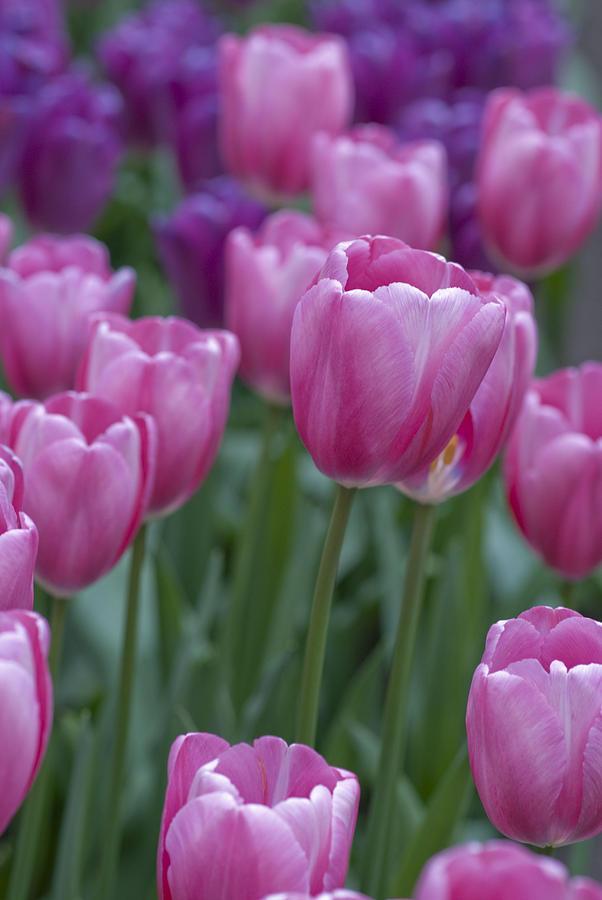 Dutch Photograph - Pinks And Purples by Juli Scalzi
