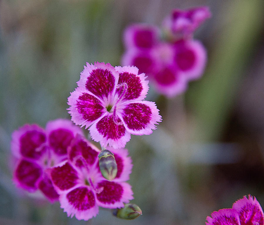 Botanical Photograph - Pinks by Frank Tozier