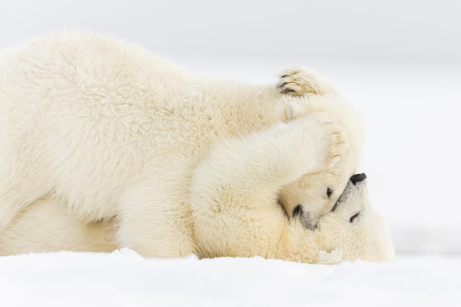Anwr Photograph - Pinned To The Snowy Mat by Tim Grams