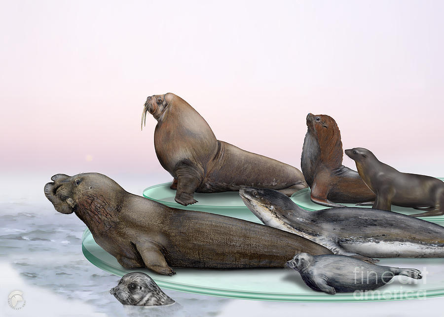 Pinnipeds  - Walruses Odobenidae - Eared And Earless Seals Otariidae Phocidae - Interpretive Panels Painting