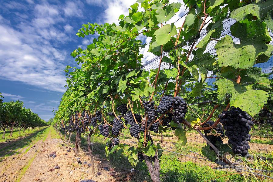 Vineyard Photograph - Pinot Noir Grapes In Niagara by Charline Xia