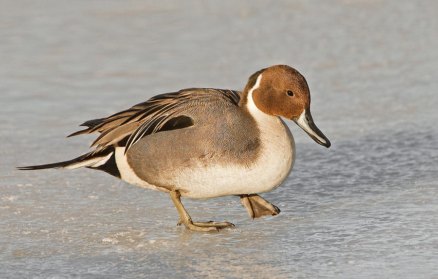 Pintail Duck Photograph - Pintail Duck by Susan Candelario