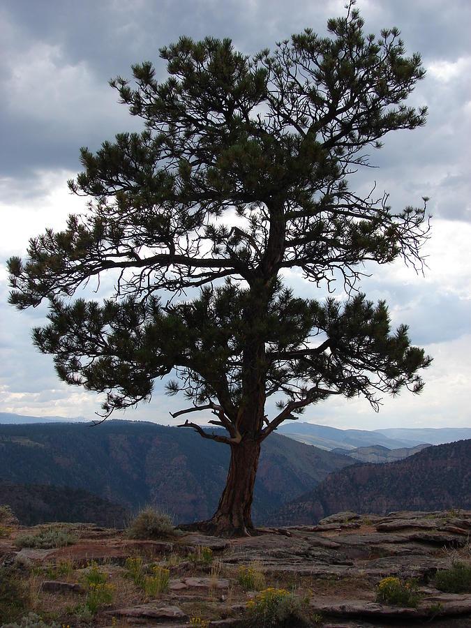 Pinyon Pine Photograph