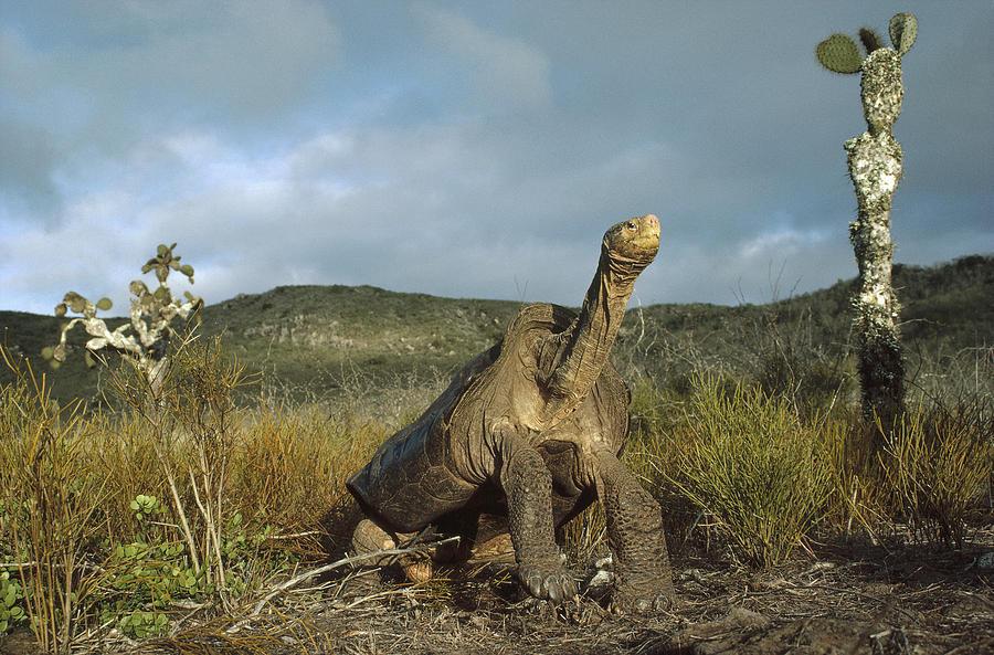 Pinzon Island Tortoise Galapagos Islands Photograph by Tui De Roy
