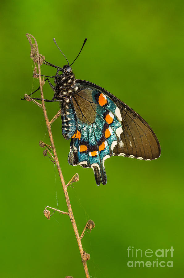 Pipevine Swallowtail Photograph - Pipevine Swallowtail by Anthony Heflin