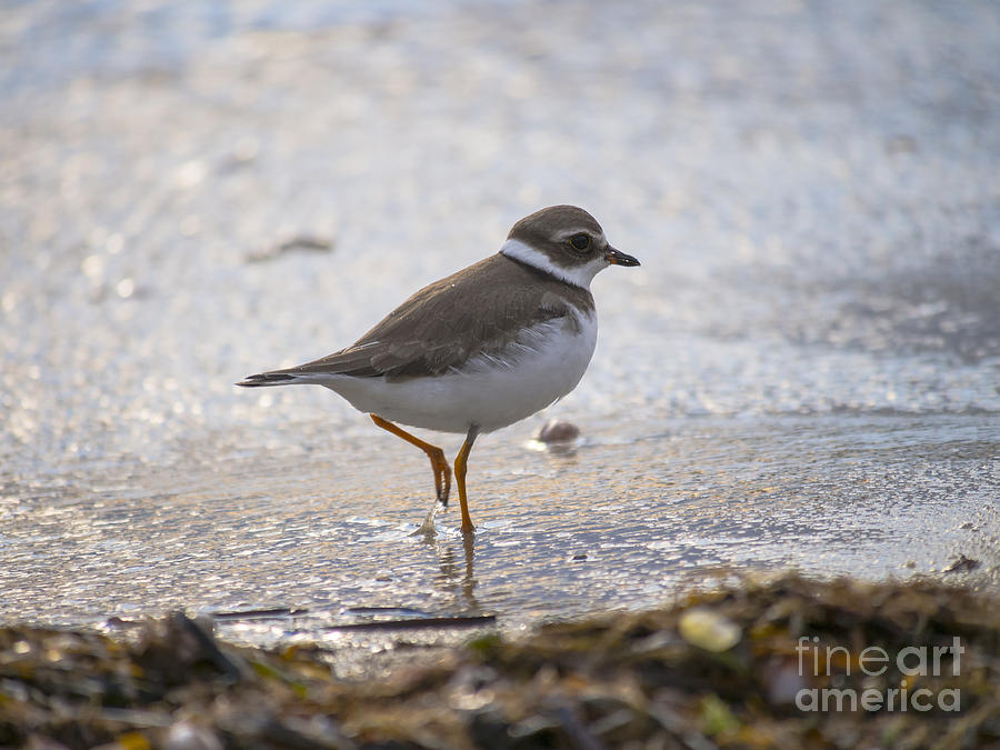 Piping Plover 091613-01 by Gene  Marchand