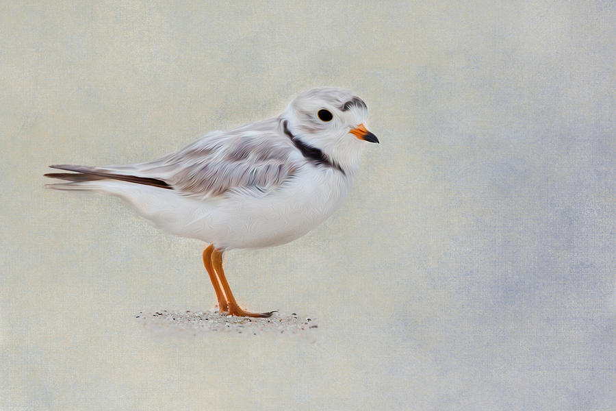 Plover Photograph - Piping Plover by Bill Wakeley