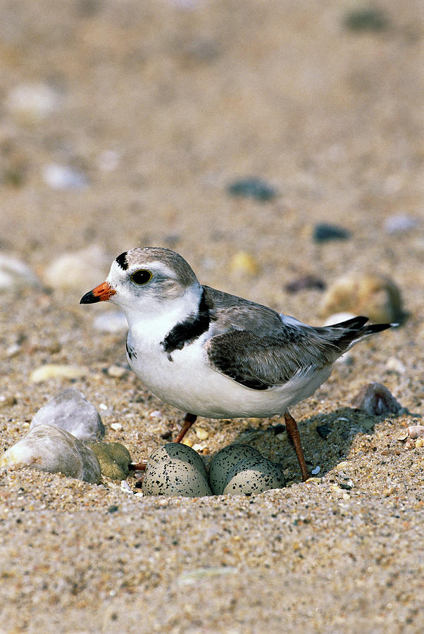 Piping Plover Sitting on Eggs Photograph by Tom Vezo